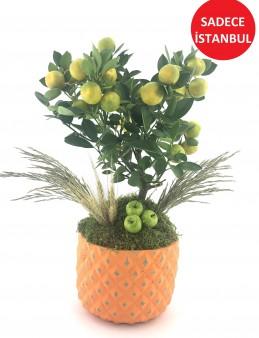 Minyatür Mandalina Ağaçı   çiçek gönder
