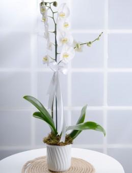 Tek Dallı Beyaz Orkide Çiçeği.  çiçek gönder