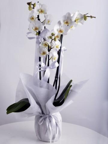 4 Dallı Beyaz Orkide Çiçeği. Orkideler çiçek gönder