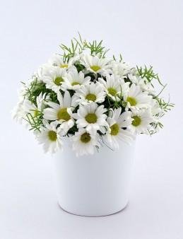 Papatya Prensesi  çiçek gönder