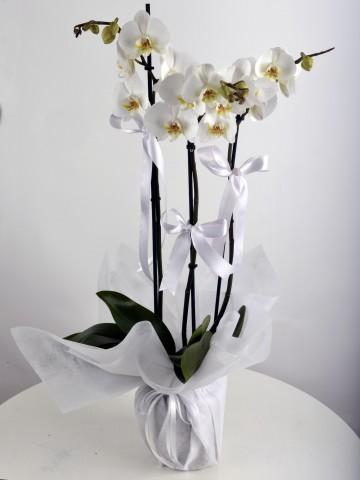 3 Dallı Beyaz Orkide Çiçeği. Orkideler çiçek gönder
