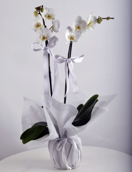 Beyaz 2 Dallı Orkide Çiçeği  çiçek gönder