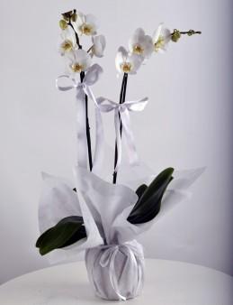 İkili Beyaz Orkide Çiçeği  çiçek gönder