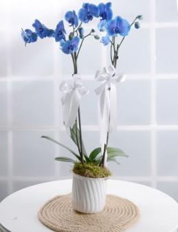 Masmavi Saksı Orkide  çiçek gönder