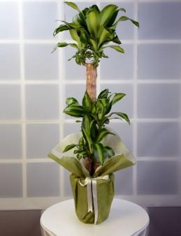 3 lü Dracena Massengena  Saksı Çiçeği.  çiçek gönder