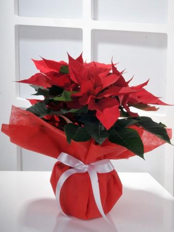 Ponsetya Saksı Çiçeği Saksı Çiçekleri çiçek gönder