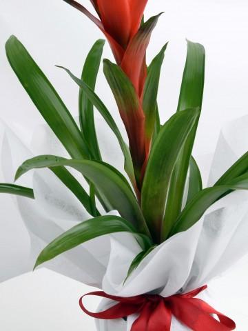 Guzmanya Saksı Bitkisi Saksı Çiçekleri çiçek gönder