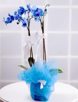 İlahi Aşk Mavi Orkide Çiçeği  çiçek gönder