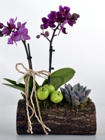 Toprak Kokusu Minyatür Orkide Orkideler çiçek gönder