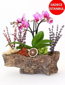 Özel tasarım ikili Orkide'nin Asaleti Orkideler çiçek gönder