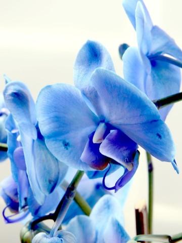 İlahi Aşk Mavi Orkide Çiçeği Orkideler çiçek gönder