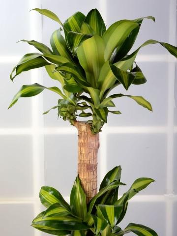 3 lü Dracena Massengena  Saksı Çiçeği. Saksı Çiçekleri çiçek gönder
