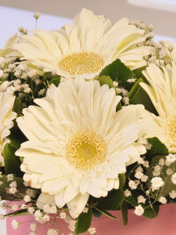 Alman Papatyası Kutuda Çiçek çiçek gönder