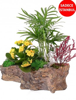Kaya görünümlü Saksıda Şamadora ve Kalanchoe tasarımı Saksı Çiçekleri çiçek gönder