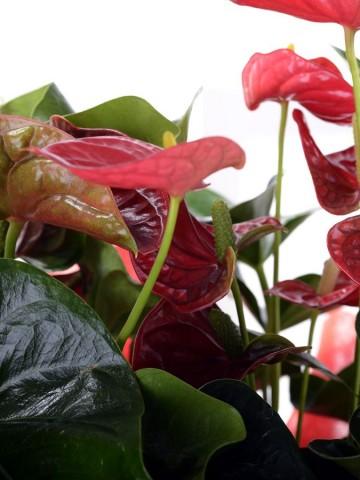 Büyük Antoryum Çiçeği Saksı Çiçekleri çiçek gönder
