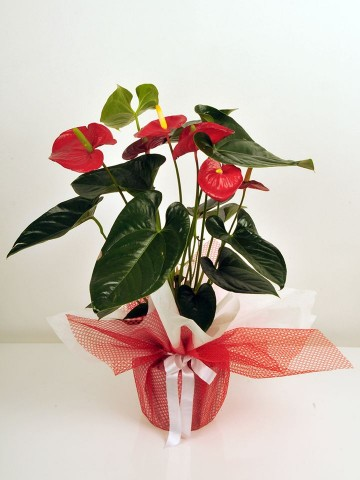 Saksıda  Antoryum Çiçeği Saksı Çiçekleri çiçek gönder
