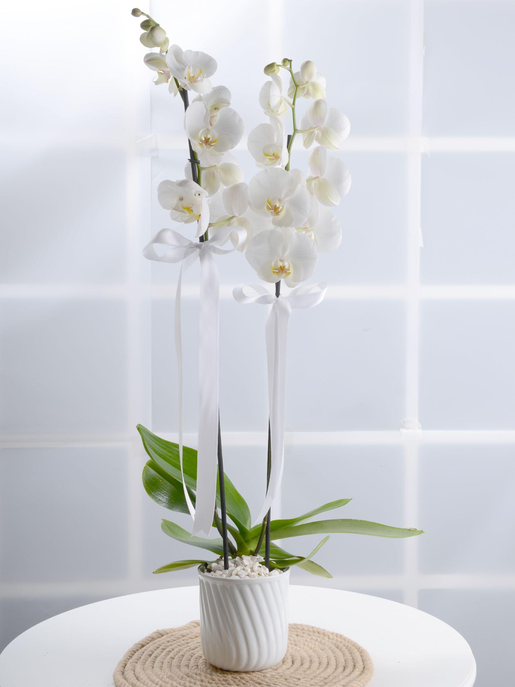Masumiyet Timsali Beyaz Orkide.  çiçek gönder