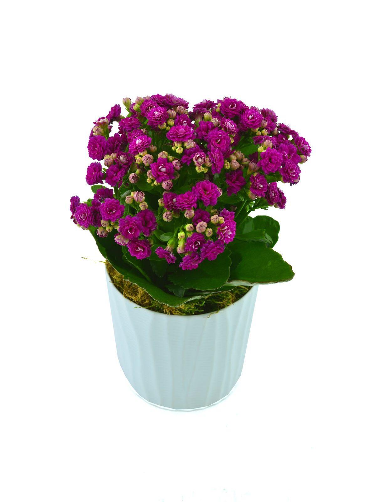 Kalanchoe Saksı Çiçeği  çiçek gönder