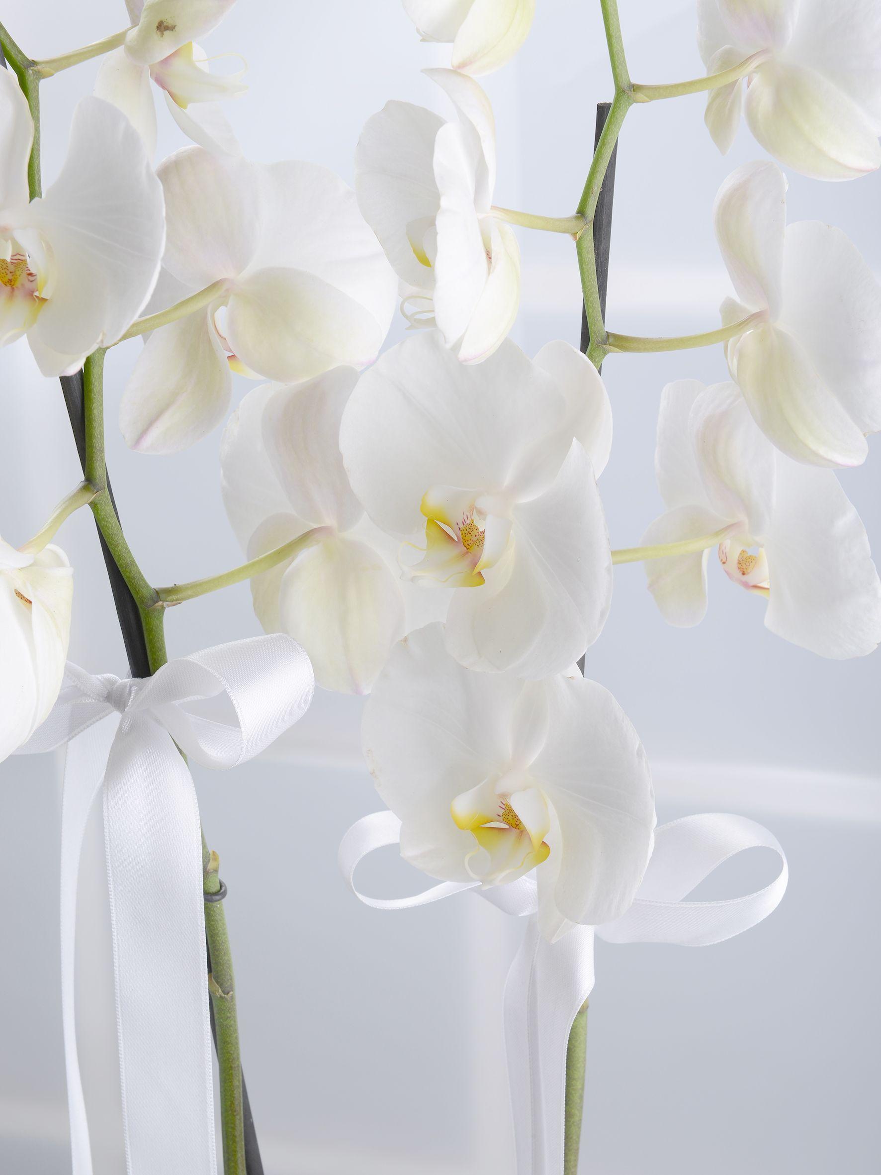 Çiftli Beyaz Orkide Orkideler çiçek gönder