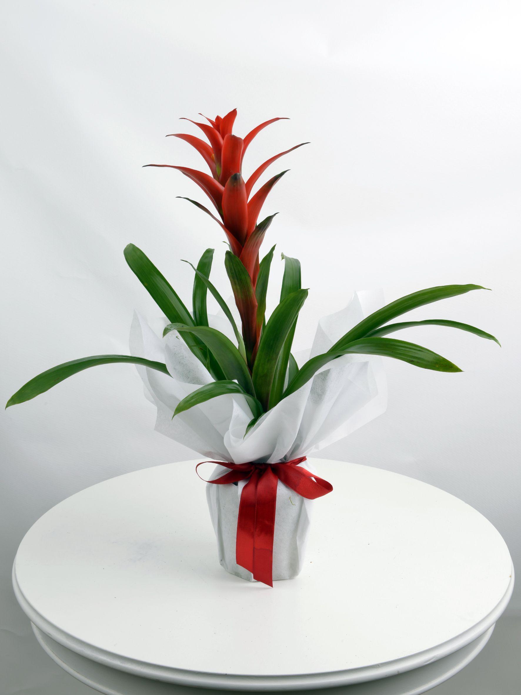 Guzmanya Saksı Bitkisi  çiçek gönder