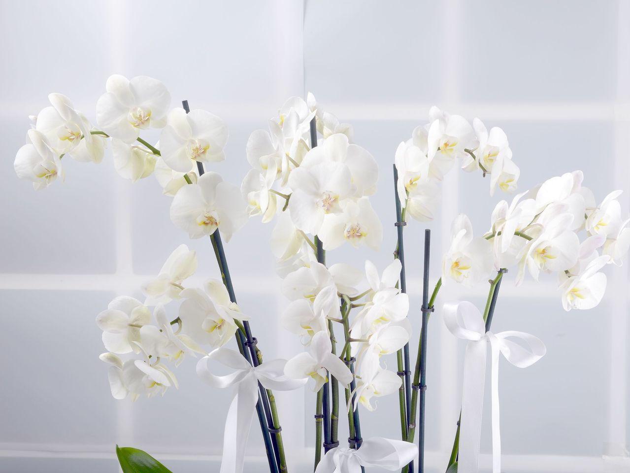 Naifliğin Simgesi Beyaz Orkideler Orkideler çiçek gönder