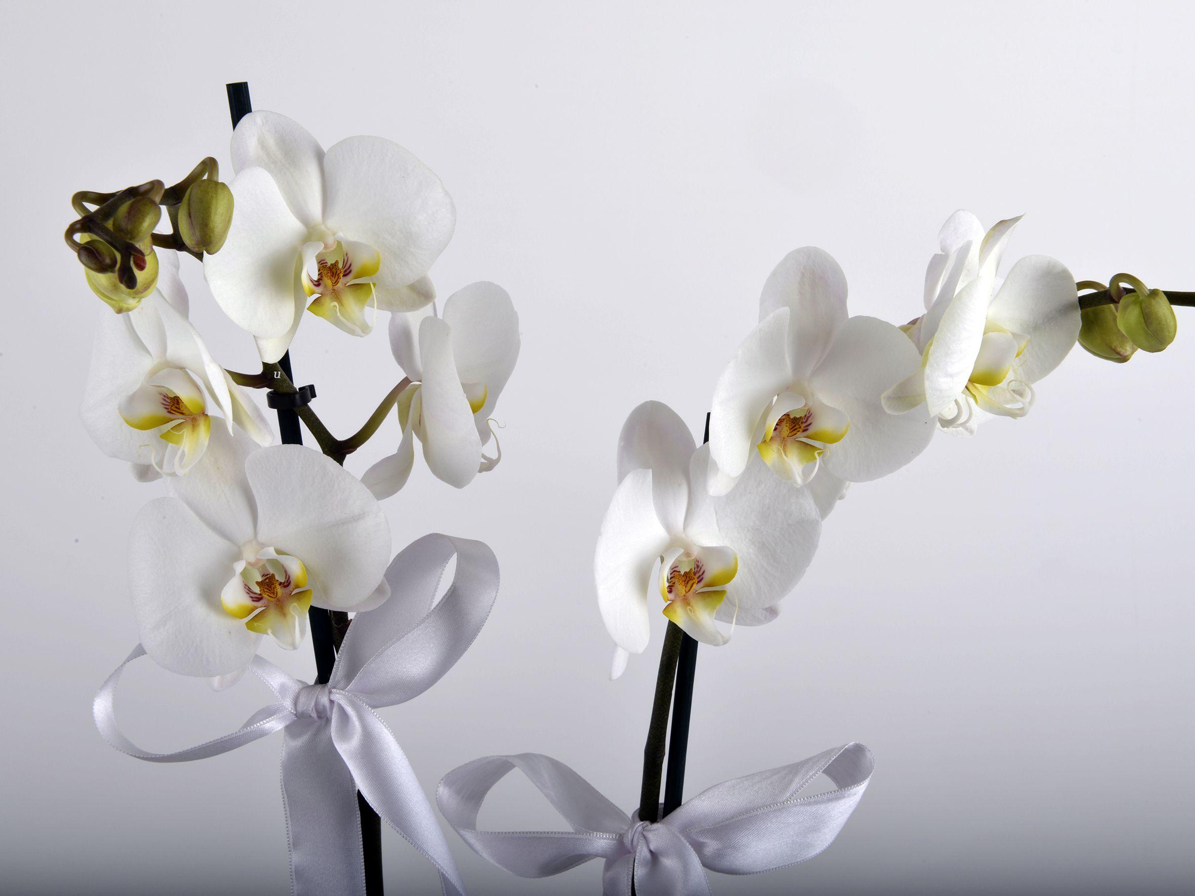 İkili Beyaz Orkide Çiçeği Orkideler çiçek gönder