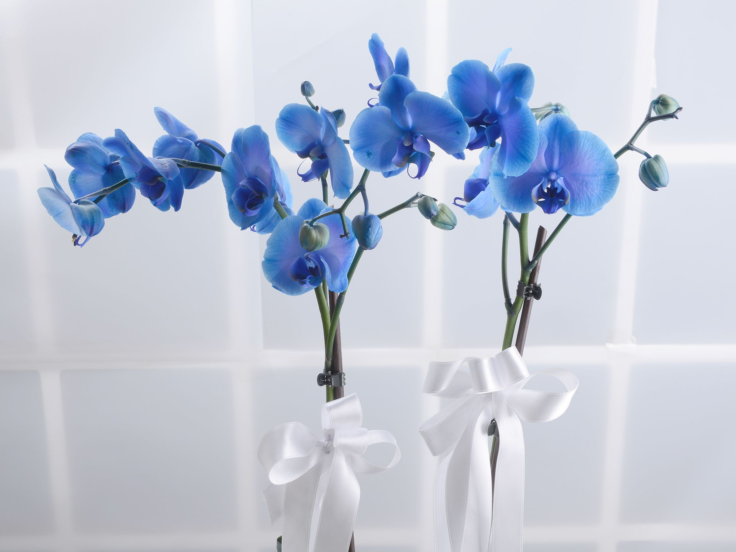 Çift Dallı Mavi Orkide  Orkideler çiçek gönder