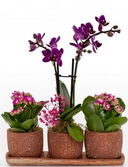 Renkli Trio Plus Serisi Kalanchoe ve Mini Orkide  çiçek gönder