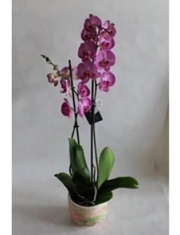 Ebru sanatı ile süslenmiş Beton Saksıda 2 Dal Pinky Orkide  çiçek gönder