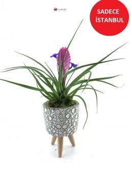 Baloncuk 3 Ayaklı Saksı da Doğal Tillandsia Bitkisi  çiçek gönder