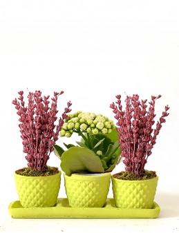 Özel Tasarım Kalanchoe ve Lavanta Seti  çiçek gönder