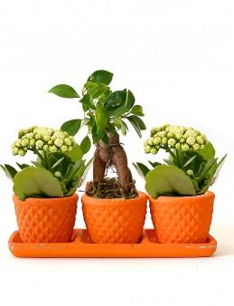 Özel Tasarım Kalanchoe ve Bonsai Bitkisi  çiçek gönder