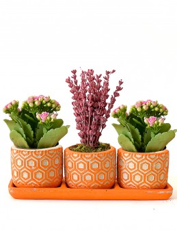Trio da Lavanta ve Kalanchoe Bitkisi  çiçek gönder
