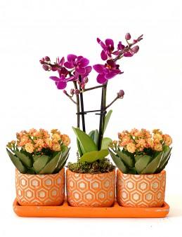 Kalanchoe ve Lavanta Bahçesi Orkideler çiçek gönder