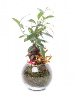 Locuis Serisi Ficus Ginseng Bonsai Tasarım  çiçek gönder