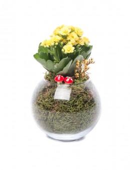 Locuis Serisi Kalanchoe Tasarım Saksı Çiçekleri çiçek gönder
