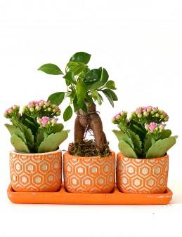 3'lü Bonsai ve Kalanchoe Aranjmanı  çiçek gönder