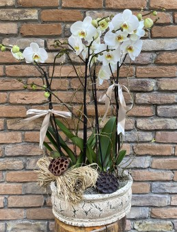 Özel  Jumbo Orkide Orkideler çiçek gönder