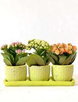 Vip Kalanşo Bahçesi  çiçek gönder