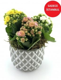 Renkli Kalanchoe Saksı Çiçekleri  çiçek gönder