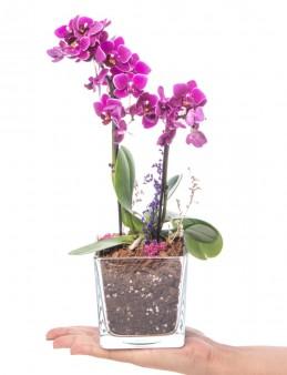 Abiete Serisi Orkide Tasarım  çiçek gönder