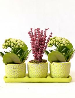 Mis Kokulu Lavanta ve Kalanchoe Bitkisi  çiçek gönder