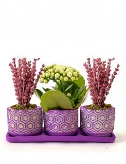 Tasarım Harikası Lavanta ve Kalanchoe Bitki Seti  çiçek gönder
