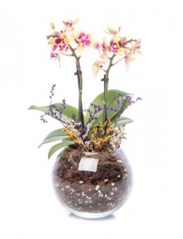 Locuis Serisi Sarı Orkide Tasarım  çiçek gönder
