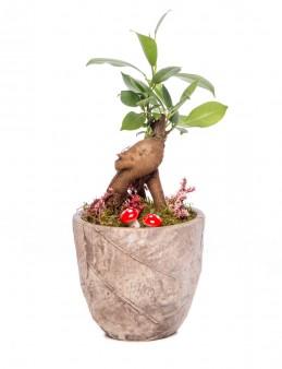 Wood Herba Serisi Ficus Gİnseng Bonsai Tasarım  çiçek gönder