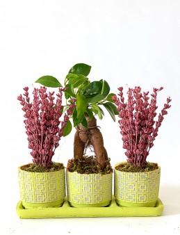 Tasarım Harikası Bonsai ve Lavanta Bitki Seti  çiçek gönder