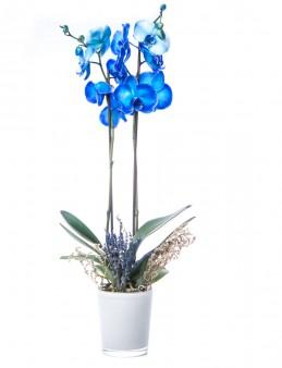 Eddar Serisi Mavi Orkide Tasarım Orkideler çiçek gönder