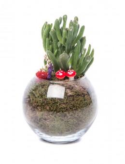 Locuis Serisi Crassula Sedum Tasarım  çiçek gönder