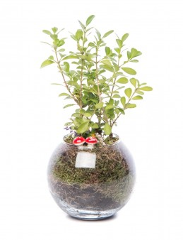 Locuis Serisi Buxus Bonsai Tasarım  çiçek gönder