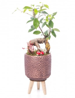 Auctore Serisi Ficus Gİnseng Bonsai Tasarım  çiçek gönder